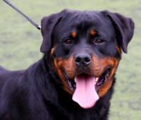 A rottweiler, similar to Bruno. Dogs, like humans, are susceptible to feelings of anxiousness and loneliness. Photo: Juan Ramon Rodriguez Sosa (via Flickr)