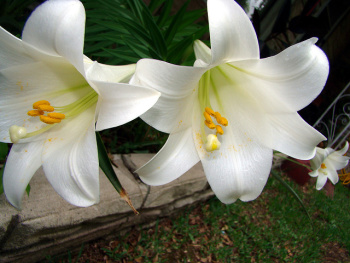 white lilies (Photo: reallyeve / Flickr)